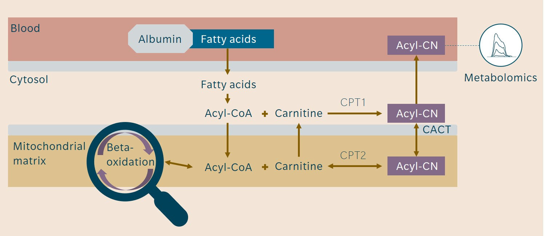 acylcarnitine pathways